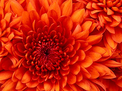 "Chrysanthemum • <a style=""font-size:0.8em;"" href=""http://www.flickr.com/photos/86746500@N07/7972533888/"" target=""_blank"">View on Flickr</a>"