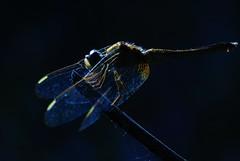 The Dark Knight Rises (Venu Dharmaji (a bit busy...)) Tags: india macro nature animal animals nikon dragon dragonfly tammy hyderabad tamron andhrapradesh 180mm greatnature