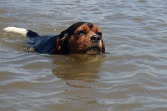 Swimming dog (~Bella189) Tags: dog beagle water swimming puppy mix olympus tricolour cavalierkingcharles coaticook challengeyouwinner beaglier thechallengefactory herowinner lacwallace tg820