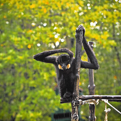 Rainy day (-clicking-) Tags: nature rain animals monkey rainyday natural bokeh rainy ape specanimal cngi