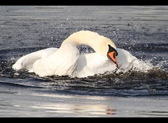 Swan Lake Frenzy (Ger Bosma) Tags: swan schwan cygne cisne muteswan cygnusolor zwaan knobbelzwaan höckerschwan cygnetuberculé cisnevulgar img59826a