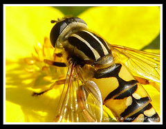 365 Day Photo Project Day 863: What A Stunner! (Riquochet) Tags: flowers yellow wildlife insects hoverfly syrphidae hoverflies blackandyellow helophiluspendulus aposematic