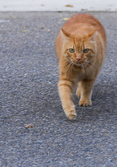 cat on a mission (doddsjzi) Tags: orange pet cat photo orangecat direct purposeful