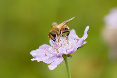 Flower fly /  (kinue&ron) Tags: flower nature canon eos bee 7d       sigma50mmf14