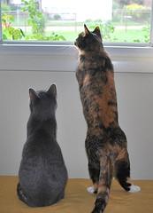 Millie & Gracie 14 September 2012 0007b 5x7 (edgarandron - Busy!) Tags: cats cute cat gracie feline tabby kitty kitties tabbies millie graytabby patchedtabby