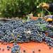 2012 Munselle Merlot Harvest 0021