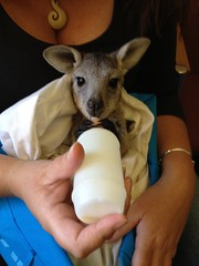 grey milk bottle joey drinking kangaroo hugo eastern bottlefeeding