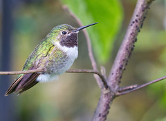 Broad Billed Hummingbird (Explore 9/27/12) (Bob Decker) Tags: