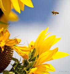Bee Sunflower_3691 (Orkakorak) Tags: flowers flora bees thumbsup storybookwinner storybookttwwinner transcendingsweepwinner transcendingsweepschallengewinner transcendingphotoofthemonth pittmeadowscommunitygarden