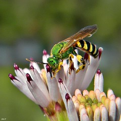 Green Bee in Striped Pajamas (Agapostemon sp.)  (bob in swamp) Tags: black male green yellow nikon florida metallic stripes ngc bee coolpix scrub palmbeachcounty agapostemon halictidae halictid taxonomy:family=halictidae taxonomy:genus=agapostemon junodunesnaturalarea feayspalafox palafoxiafeayi