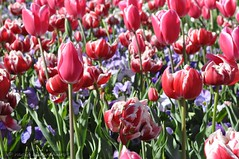 canberra 139 (raqib) Tags: flower floral garden flora capital australia tulip canberra rc act floriade flowerfestival australiancapitalterritory d90 canberrafloriade