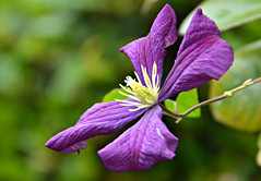 Purple October (Eleanor (WHU)) Tags: garden purple clematis stamen floralfantasy perfectpetals flowersarebeautiful worldofflowers flickrsawesomeblossoms amazingdetails unforgettableflowers addictedtoflowers flowersonflickr anaturecanvas flowers4you brigettesbeautifulnaturegallery certifiedphotographerlevel1 anythingnikonexceptpeople