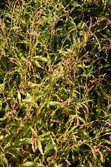 Wasserpfeffer_DSC_3895 (schaefer_rudolf) Tags: pflanze persicaria knterich wildpflanze pfefferkraut wasserpfeffer scharfkraut pfefferknterich blte weisrosa persicaria hydropiper flohpfeffer