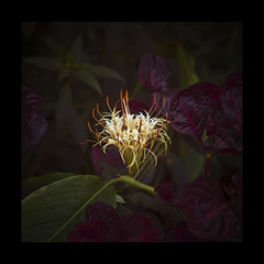 Fire in the dark 2 (duncan!) Tags: leica ltm flowers plants canon 50mm m8 wisley f12