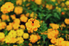 The Selected One (eternal_ag0ny) Tags: orange india flower green yellow garden nikon bokeh bangalore bee karnataka bagh lal d300s