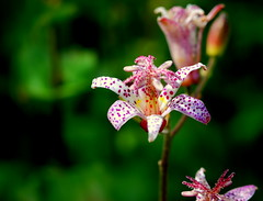 Formosa Toad Lily (Renee Rendler-Kaplan) Tags: flowers green beautiful nikon colorful lily gbrearview bright blossom tiny stems bud botanicgarden speckled gapersblock wbez chicagobotanicgarden chicagoist glencoeillinois nikond80 formosatoadlily reneerendlerkaplan