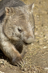Wally the Wombat (aussiegall) Tags: native australian marsupial wombat