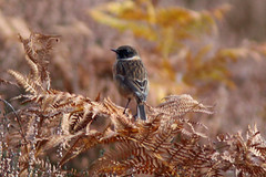 Stonechat (JayClark) Tags: thelodge