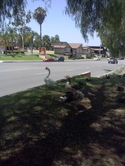 Ducks at Del Taco (bunnicula) Tags: ducks deltaco oc orangecounty
