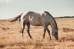 White Horse - Torrington, Wyoming (- Anthony Papa -) Tags: wyoming torrington canon 5d mk ii anthony papa plains dry hot summer grass blue mountains country middle nowhere vintage matte america tea kettle ranch horse cows cattle tumblr tumbleweeds