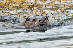 'A Watery Bliss' (coopsphotomad) Tags: otter mammal wildlife nature swimming sea seaweed fur scotland mull animal british water mullotter wildotter scottishotter
