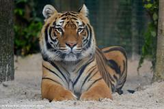 Bengal tiger 'Sheer khan' - Zoo Amneville (Mandenno photography) Tags: dierenpark dierentuin dieren france frankrijk tiger tijger tigers tijgers amneville zoo