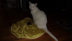 Mystic (universalcatfanatic) Tags: cats mystic white cat green eyes eye sit sitting top toy yellow tent moving stick mechanical battery operated living room livingroom hard wood hardwood wooden floor vent christmas gift present glow glowing rug carpet circle circles square squares pattern play playing