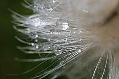 Distel nach dem Regen 1 (DianaFE) Tags: dianafe blume blüte wildkraut wiesenblume tropfen regen makro tiefenschärfe schärfentiefe