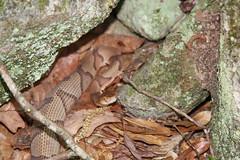 Copperhead Snake (Venomous) (Southern Conservation Trust Inc) Tags: venomous snake copperhead sctlandtrust