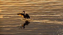 D71_0956-3 (Bill Brooks Photography) Tags: golden hour goldenhour dinner dash run water saltwater sunset splashing tricolored heron
