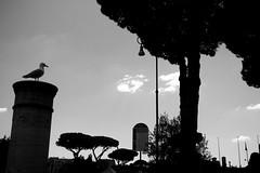 Osservando, immerso nei pensieri (LikeTheHitter) Tags: deep thought riposo gabbiano romano roma rome bianconero mouette seagull bianco e nero monocromo architettura colonna allaperto