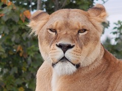 Eye contact. (Sharon B Mott) Tags: lioness lion bigcat cat preditor carnivour animal yorkshirewildlifepark