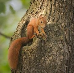 Eating on a knot (hedera.baltica) Tags: squirrel redsquirrel eurasianredsquirrel wiewirka wiewirkapospolita sciurusvulgaris