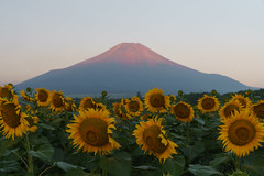 Sunflowers (DSC07328_LR) (Fumitaket) Tags:   jp sunflowers   fuji mountain