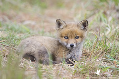 Top O' the Morning (santosh_shanmuga) Tags: red fox kit baby cute tiny fuzzy snooze sleep nap mammal animal carnivore canine nature wild wildlife outdoor outdoors nikon d3s 500mm md maryland queenannes queen annes eastern shore easternshore