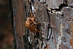 Exoskeleton (redhorse5.0) Tags: bug exoskeleton nature cicada redhorse50 sonya850 wildlife