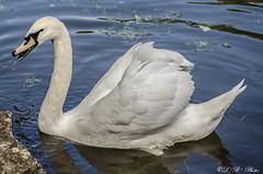 Hungry Swan (PerfumeG2011 (off & on). Slowly trying to catch up) Tags: nature d7000 animalplanet nikond7000 animals rosemrequbec rosemre canada nikon 2016 swan cygnus