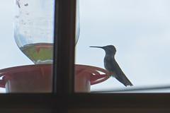 Our Hummingbird Feeder 12 August 2016 0651Rif 4x6 (edgarandron - Busy!) Tags: home house hummingbird hummingbirds feeder feeders