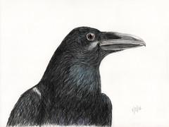 Raven (Sair Jane) Tags: raven drawing colour corvid