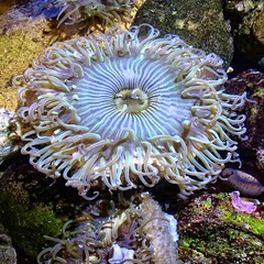 Marine Life (Viejito) Tags: seaanemone zeeanemoon anmonademar seeanemone anmonedemer actinia bhiqu     polyp toxic predator actinaria hexacorallia anthozoa santabarbara brbara california beach usa unitedstates amerika amrique amrica pacific ocean pier stearnswharf pacificocean johnpeckstearns america geo:lat=3441045 geo:lon=119685713 geotagged canon s100 canons100 powershot water sea center wind waterfront blue tywarner tywarnerseacenter museum natural history sbmnh museumofnaturalhistory sharks tentacles oral arms stomach boardwalk 500x500 square tentacle gonad collar sphincter disk