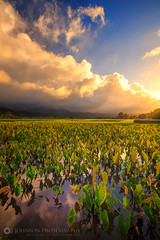 Hanalei Valley Taro Fields (jjohnsonphotography1) Tags: hanalei valley taro field kauai hawaii princeville sunset clouds sky