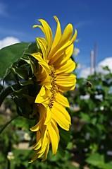 Sunshine flower (Blue sky and countryside.) Tags: sunflower garden homegrown derbyshire england sunny blue sky happy organic pentax depthoffield