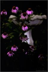 Evening Shadows (Lindaw9) Tags: echinacea cone flowers birdbath summer august garden colours