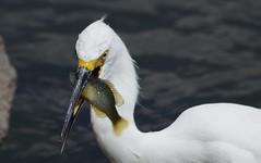 IMGP8866 (CatseyeGomez) Tags: nevada virginia lake bird reno snowy egret