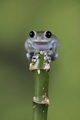 On Top (Val Saxby LRPS) Tags: captivelight fall frogs leptopelisuluguruensis macro pets rubyeye rubyeyetreefrog treefrog wildlife winter amphibians animals nature studio