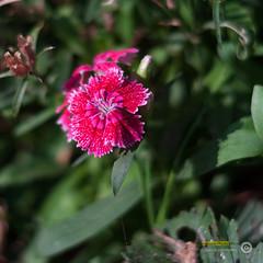 _DSC0214-Modifier.jpg (xpressx) Tags: bokeh 50mm nikon flowers passionphotonikon fleurs nd4 18 parc photographe lightroom nikond5000 nd8 nikkor flore d5000