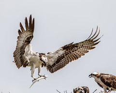 Patience Rewarded (Andy Morffew) Tags: ospreys nest meal fish food male incoming tigertailbeach marcoisland florida andymorffew morffew naturethroughthelens