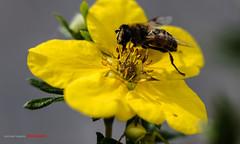 XPR29760 (justpedalhard) Tags: calgary fujixpro2 fujixpro2shots fujifilmxf35mmf2rwr michaellogatoc 2016 macroextensiontube fujimcex11 beemacro flowermacro