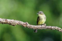 A Fall Phoebe (PhillymanPete) Tags: bird songbird easternphoebe green perch flycatcher fall nature philadelphia pennsylvania unitedstates us