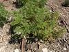 Organic Geranium